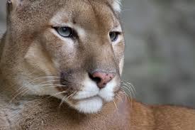 Puma3